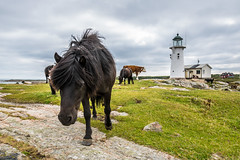 Horses by the Lighthouse (Infomastern) Tags: hallandsvder vdern animal djur fyr horse hst lighthouse exif:model=canoneos760d exif:aperture=71 geocountry camera:make=canon exif:isospeed=100 camera:model=canoneos760d exif:focallength=18mm geolocation exif:lens=efs18200mmf3556is geostate geocity exif:make=canon