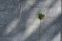 Singleton (Joanne Dale) Tags: joannedale nikond7200 outdoor queenanneslace roadsideperennial plant green flower seedhead minimalism wall concrete grey shadow light foundgardens