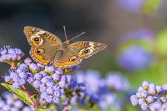 Fall Buckeye (PhillymanPete) Tags: commonbuckeye macro butterfly nature flower beauty insect wetlandsinstitute stoneharborpoint stoneharborwetlandsinstitute stoneharbor newjersey unitedstates us nikon d7200 buckeye