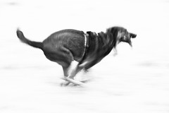 Dog in motion (matwolf) Tags: blackandwhite bw dog chien motion black canon blackwhite noiretblanc ngc running hund bewegung bb schwarz mouvement schwarzweis
