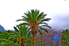 Winter in Cyprus (EAO72) Tags: trees palm palmiye kbrs bellapais aalar kktc