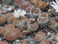 DSCF0386 (BobTravels) Tags: plant stone bob lithops lithop messem bobwitney