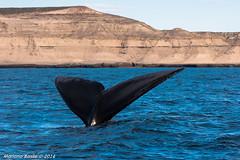 Avistaje en Puerto Pirmides (mnb_mariano07) Tags: patagonia argentina puerto sony piramides 70300mm franca ballena chubut pennsula valds austral a700