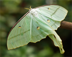 Male Indian Moon Moth (Foto Martien) Tags: china pakistan india afghanistan holland macro netherlands dutch japan butterfly insect sumatra indonesia geotagged java big asia russia philippines great moth large nederland grand papillon borneo tropical srilanka gps mariposa geota