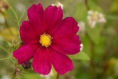 Een rode bloem voor Nick