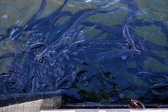 Mandarin Duck & Long Finned Eels (flyingkiwigirl) Tags: lake duck long lakes nelson mandarin eels rotoiti finned