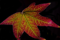 Backlit Red And Green Leaf - Explored (Bill Gracey) Tags: california red green nature yellow leaf colorful fallcolors lakeside autumncolors translucent glowing backlit softbox luminous backlighting offcameraflash roguegrid yn560ii yongnuorf603n strobie130