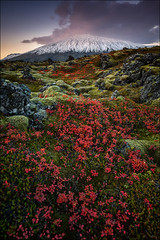 [ ... nordic autumn ] (D-P Photography) Tags: flowers autumn sunset red sun mountain snow green landscape island iceland moss mood herbst glacier nd landschaft moos snaefellsnes ndgrad leefilters dpphotography snaefellsjjull