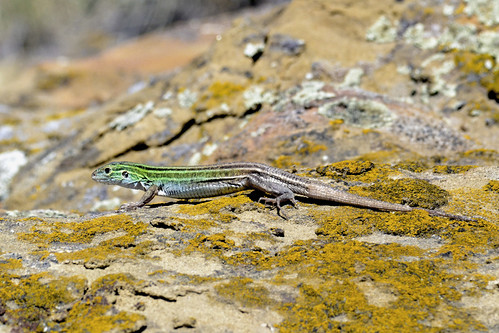 Photo - Dave Sutherland - Six-lined Racerunner - Runner Up - Staff