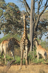 Moremi Game Reserve - Kwhai (www.JnyAroundTheWorld.com - Pictures & Travels) Tags: africa botswana safari gamedrive moremigamereserve moremi kwhai wildlife landscape nature giraffe girafe jny faune fauna animal animals animaux canon jnyaroundtheworld jenniferlavoura