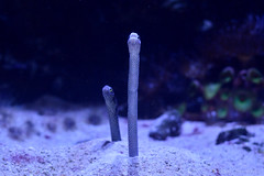 Spotted Garden Eel (Bri_J) Tags: aquarium nikon hull eel thedeep spottedgardeneel heterocongerhassi d3200