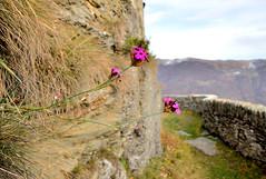 (joestammer) Tags: italy alps flower italia fiore alpi santacristina vallidilanzo
