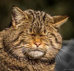 Chat sauvage portrait 2 (stram36) Tags: wild cat chat felis sauvage sylvestris marecottes