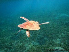 tartaruga verde 17 (Valentina Balestra) Tags: animals canon mare sub redsea diving natura turtles animali egitto cheloniamydas berenice tartarughe rettili subacquea marrosso snorkeing tartarugam