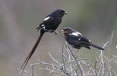 Magpie Shrike (Corvinella melanoleuca) with chick (Ian N. White) Tags: chick botswana magpieshrike corvinellamelanoleuca khamarhinosanctuary