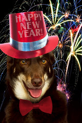 Happy New Year to all my flickr friends (aussiegall) Tags: dog hat ally fireworks celebrate kelpie