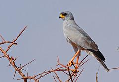 Eastern Chanting Goshawk (Rainbirder) Tags: kenya samburu melieraxpoliopterus easternchantinggoshawk easternpalechantinggoshawk rainbirder