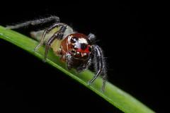 Red and Green Jumper (#2) (Doundounba) Tags: macro mexico spider pentax mexique rivieramaya jumpingspider araigne k3 272e salticidae dcr250 raynox thiodina salticide grandsirenis mayanbeach tamronspdi90mmf28