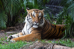 IMG_9073.jpg (Austin Whisnant) Tags: animal cat canon photography zoo florida tiger westpalmbeach telephoto bigcat palmbeach palmbeachzoo 60d austinwhisnant austinwhisnantphotography