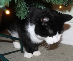 Gregory eating the tree (kaylo88) Tags: christmas rescue pet silly tree cat naughty greg eating chewing gregory rspca rescuepet
