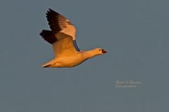 ROSGOO 0304 (bryanjsmith62) Tags: rosssgoose birdsofnewmexico birdsofnorthamerica anserrossii anatidae ducksgeeseandwaterfowl