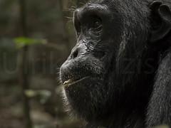 Gemeiner Schimpanse (Pan troglodytes) (uwizisk) Tags: uganda kibale commonchimpanzee gemeinerschimpansepantroglodytes