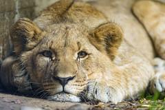 Lion cub lying flat