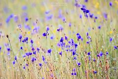 flower_field_07r