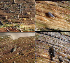 Springtails (rockwolf) Tags: insect shropshire springtail collembola rockwolf uptonmagna