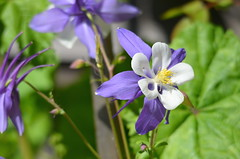 Colombine (Neal D) Tags: flowers plant flower bc blossom richmond aquilegia colombine steveston