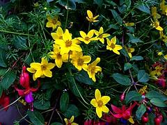 #HappyWeekendEverybody (RenateEurope) Tags: flowers plants flora multicolored hangingbasket 2016 happyweekendeverybody awesomeblossoms iphoneography renateeurope ipadair2