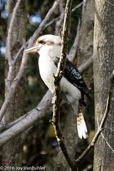 20/52-4: Kookaburra (JoyVanBuhler) Tags: au sydney australia act project5x7
