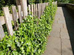 Ivy alongside the citywalls, 2016 May 23 (Dunnock_D) Tags: uk england green corner fence wooden unitedkingdom britain path ivy chester citywalls walls paved