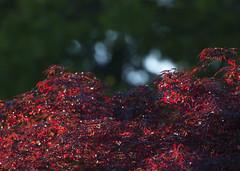 Red Maple_2607 (Mike Head - Jetwashphotos) Tags: red sun canada tree evening bc bright britishcolumbia delta lowsun redmaple westerncanada latesun westernregion maplemapletree