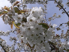 Finally spring is coming in May (Daantje1704) Tags: sky flower tree wow blossom boom lucht bloesem