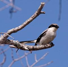 20160331 Louisiana-Wuerger (Loggerhead Shrike) K3II7812s_DxO (AviFuzzi) Tags: park nature birds state pentax florida jonathan dfa dickinson 150450 k3ii