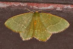 Moth_053016a (Eric C. Reuter) Tags: ny nature wildlife may insects moths hancock catskills 2016 somersetlake mothing 053016