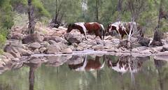 Wild horses at the long waterhole (Graham Winterflood) Tags: wildhorses canoneos6d