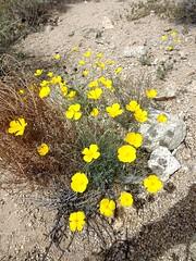 desert poppis (h willome) Tags: california desert hiking joshuatree wildflowers joshuatreenationalpark 2016 cottonwoodsprings