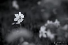 Bello come un narciso (EmozionInUnClick - l'Avventuriero's photos) Tags: blackwhite bokeh bn fiore narciso