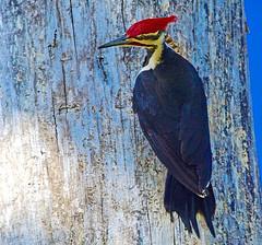 Pileated Pride (Scott M. Mohn) Tags: red tree nature minnesota birds animal wildlife woodpeckers plumage pileatedwoodpecker sonyilca77m2
