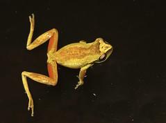 Whirring Tree Frog (Litoria revelata) (Heleioporus) Tags: new tree wales coast south north frog litoria whirring revelata