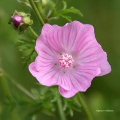 16-IMG_2483 (hemingwayfoto) Tags: blhen blte bltenblatt blume botanik flora malvasylvestris malve natur panther pflanze pink wild