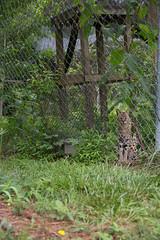 IMG_8282 (whereisjulie?) Tags: rescue tiger lion carolina cougar ocelot serval caracal kinkajou