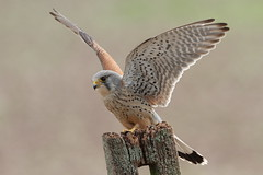 Kestrel (Colin Rigney) Tags: bird nature animal outside outdoor wildlife kestrel birdofprey ukwildlife ukbirds canoneos7d worcestershireuk colinrigney