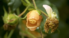 After the storm (Pejasar) Tags: yellow golden rose bud retainers storm after flower bloom blossom tulsa oklahoma