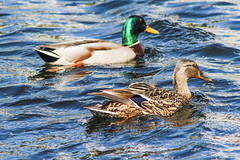 Ducks (markyharky) Tags: water boats clyde canal harbour ducks sunny basin forth bowling bowlingbasin bowlingharbour forthandclydecanal