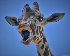 Getting Upclose (Stuart Schaefer Photography) Tags: africa wild portrait nature face animal animals mouth outdoors zoo eyes florida zoom outdoor head wildlife surreal giraffes giraffe clouseup gulfbreeze gulfbreezez00 sonya6300