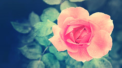 Pink Rose (pakimug) Tags: pink wallpaper flower macro nature rose hungary hd termszet hun virg 1080p rzsaszn httrkp rzsa pty