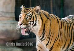 DSC00085 (montusurf) Tags: hot panting waco cameron park zoo